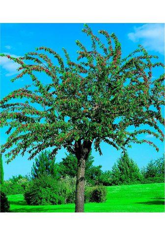 BCM Obstbaum »Süßkirsche Große schwarze Kn...