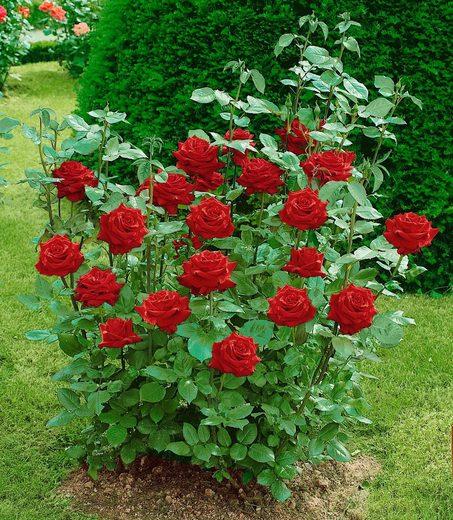 BCM Beetpflanze »Edelrose Ingrid Bergmann®«