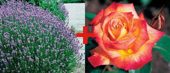 BCM Beetpflanze »Rose Rumba & Lavendel« Set
