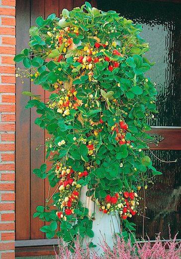 BCM Obstpflanze »Erdbeerbaum«