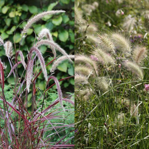 BCM Gräser »Lampenputzergras Mix (2 Sorten)« Spar-Set, Lieferhöhe ca. 40 cm, 2 Pflanzen