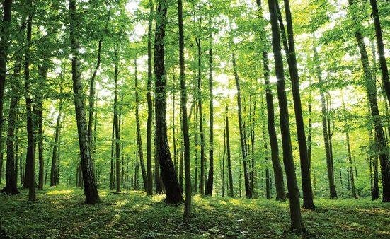 Consalnet Fototapete »Grüner Wald«, glatt, Motiv
