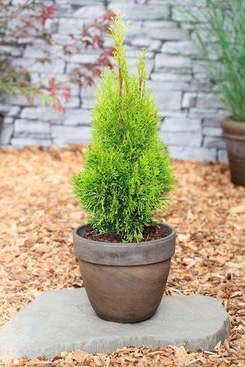 Hecke »Lebensbaum Smaragd«, Höhe: 15-20 cm, 3 Pflanzen