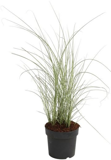 BCM Gräser »Chinaschilf sinensis 'Morning Light'« Spar-Set, Lieferhöhe ca. 60 cm, 2 Pflanzen