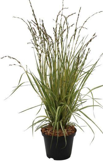 BCM Gräser »Pfeifengras caerulea 'Variegata'«, Lieferhöhe ca. 40 cm, 1 Pflanze