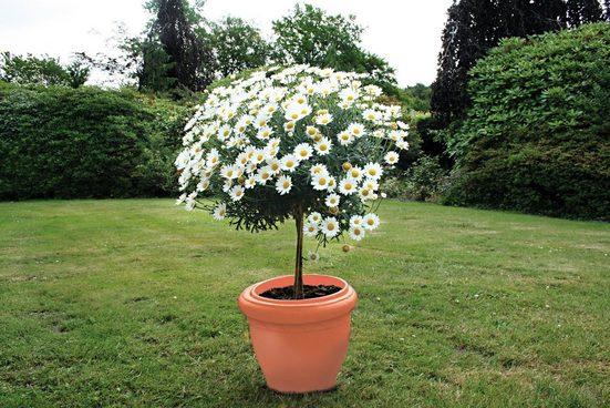Margerite »Chrysantheme Stämmchen«