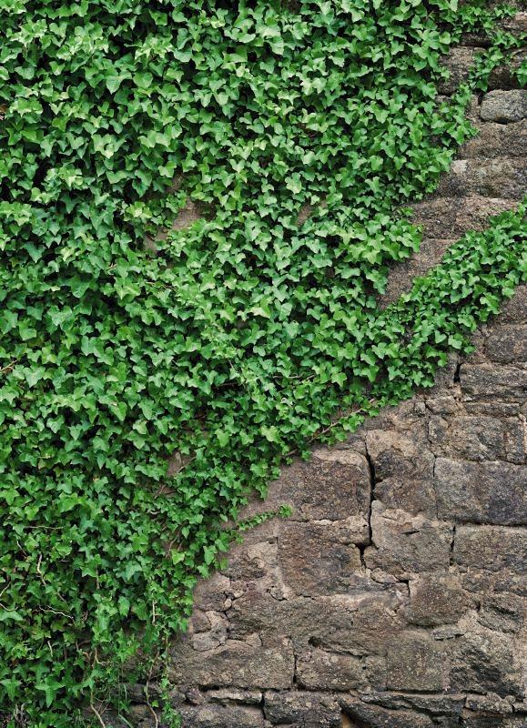 Fototapete, Komar, »Ivy«, 184/254 cm in grün