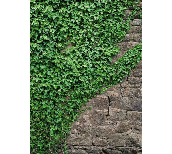 Fototapete, Komar, »Ivy«, 184/254 cm