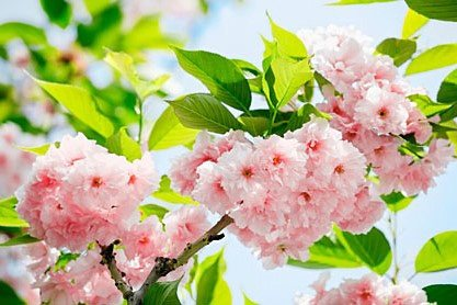 Wandtapete, Home affaire, »Sakura Blossom«, 366/254 cm in rosa/grün