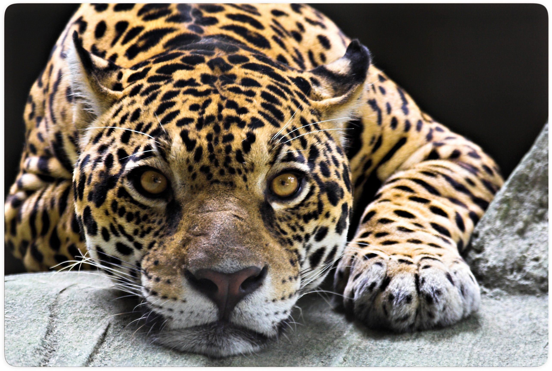 Home affaire Glasbild »Jaguar«, 100/70 cm