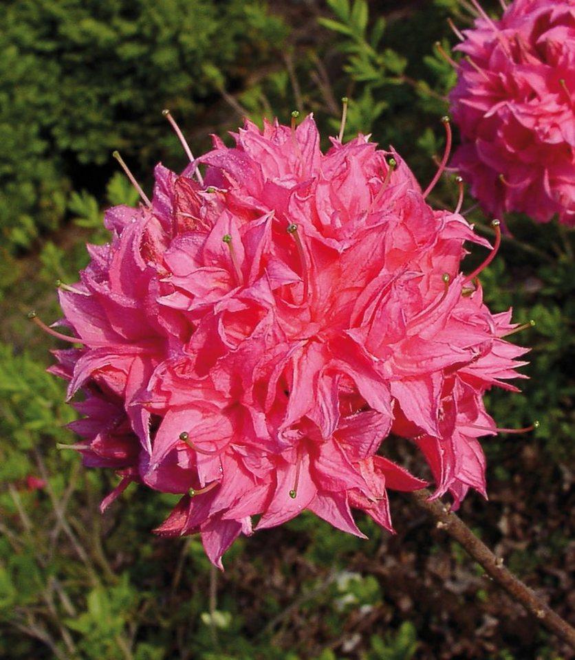 Rhododendron »Azalee Homebush«