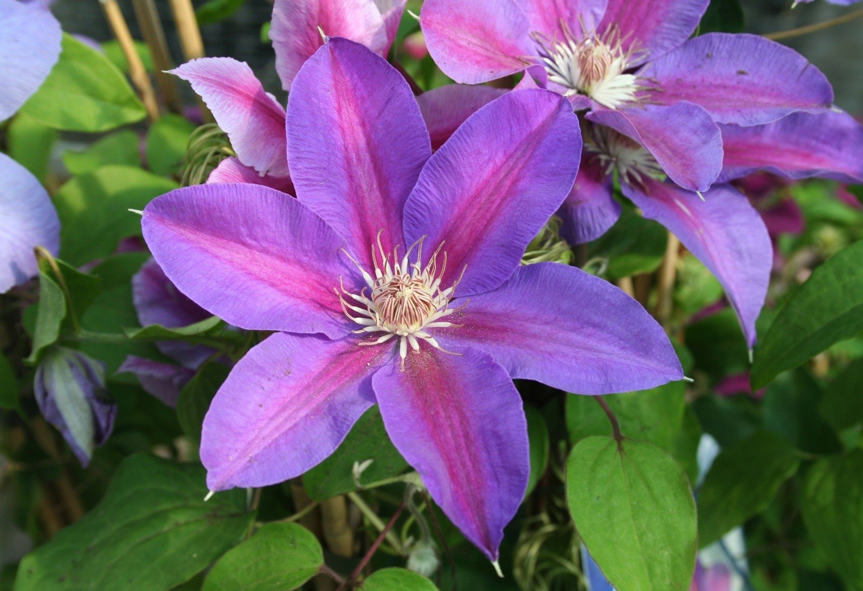 Clematis Mrs N Thompson (2 Pfl.)