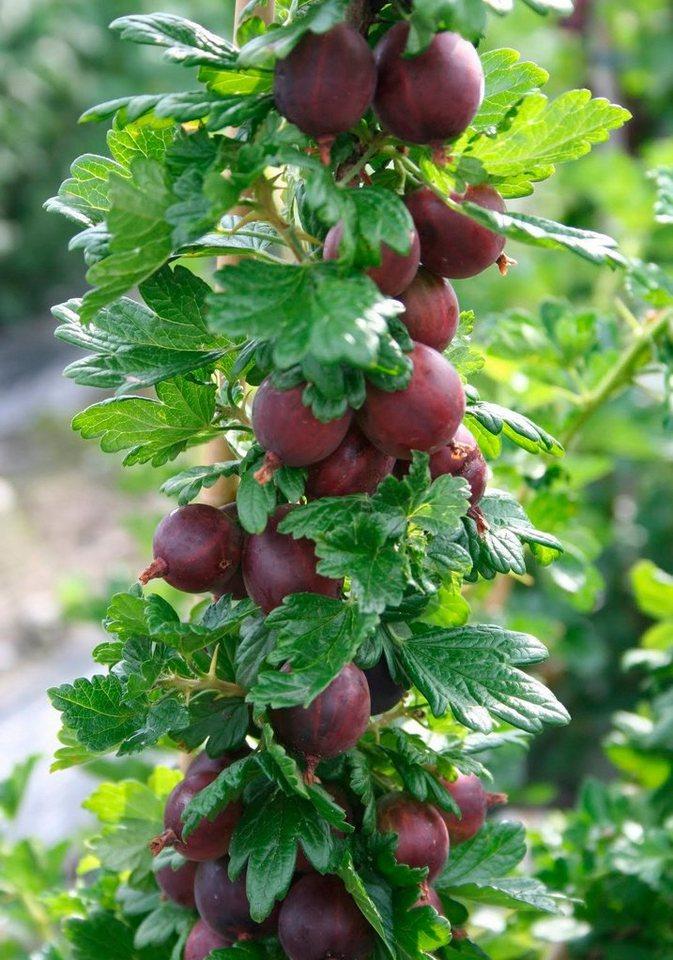 Stachelbeere »Crispa® Flavia®« in grün