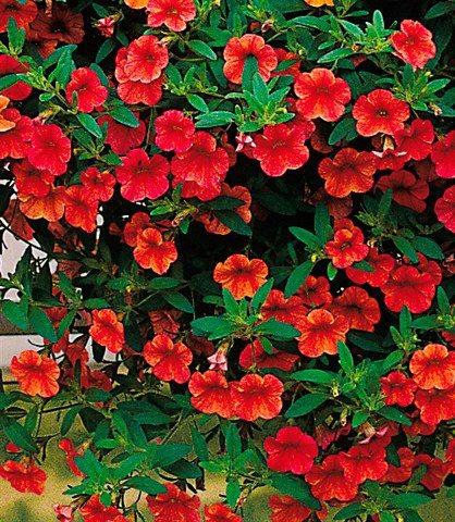 Beet & Balkonpflanze »Zauberglöckchen« in cherry-rot
