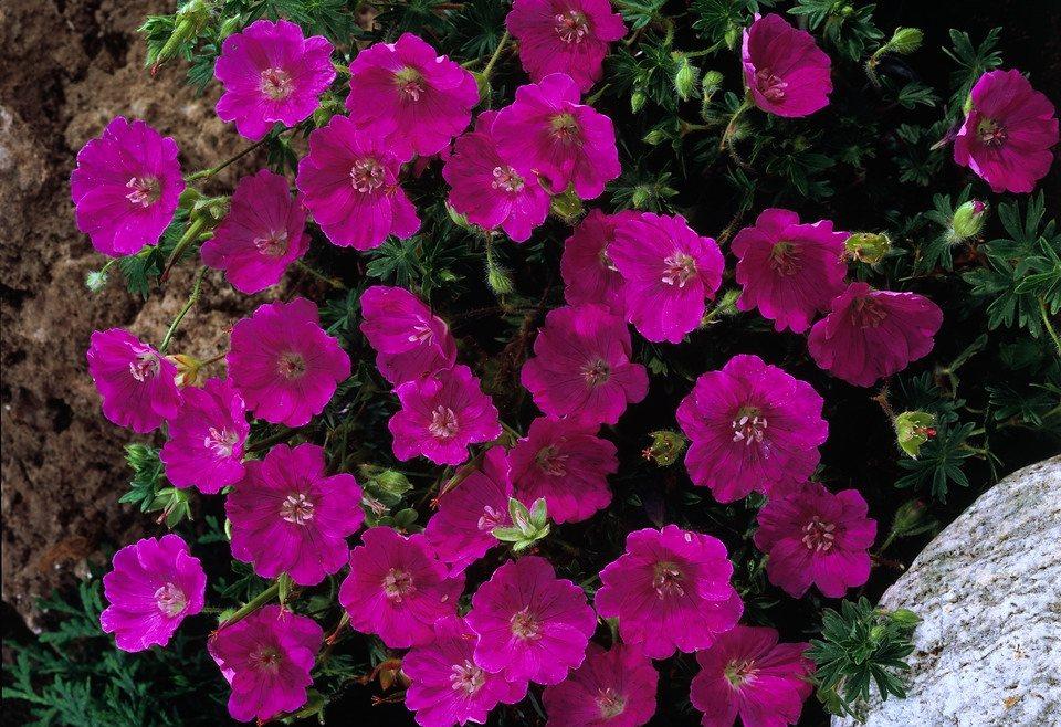 Blutstorchschnabel (3 Pfl.) in rosa