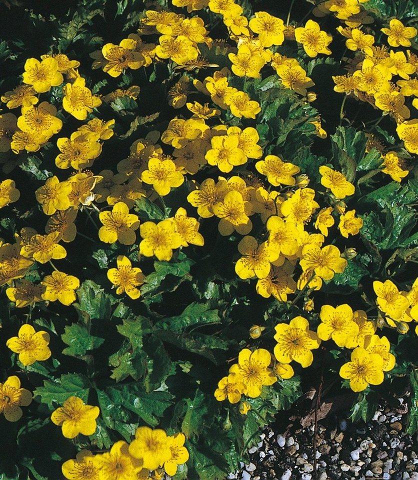 Bodendecker »Dreiblatt Golderdbeere« in gelb