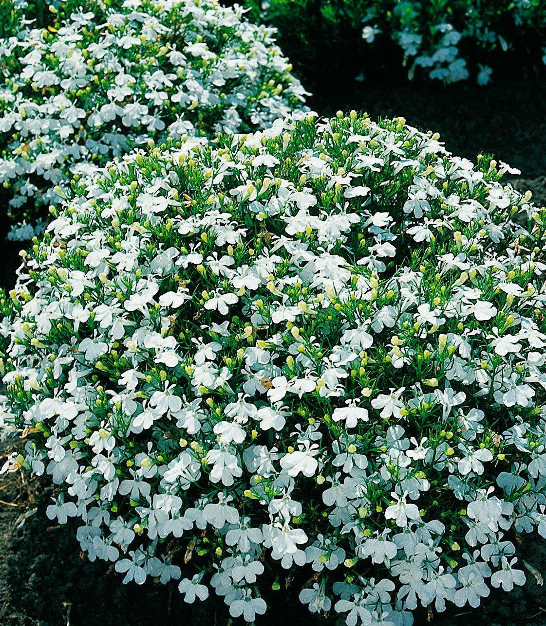 Beet- & Balkonpflanze »Lobelia«, weiß (4 Pfl.)