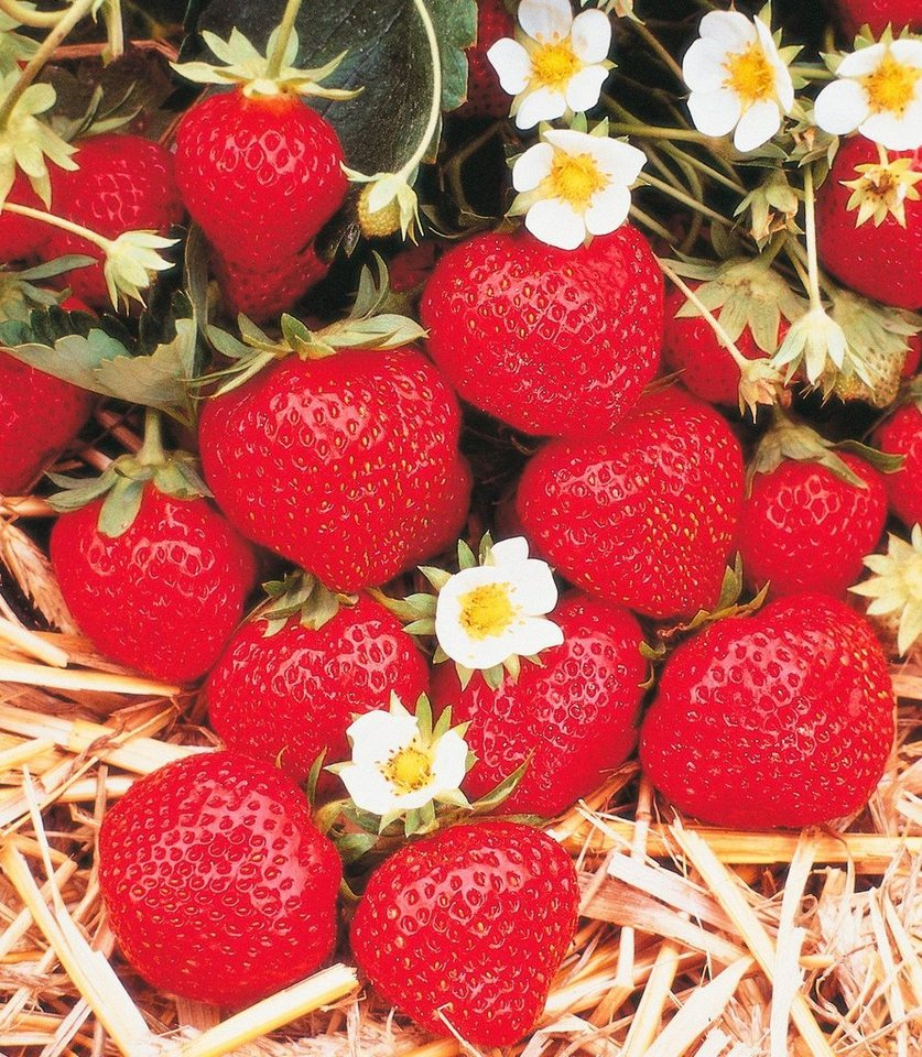 Erdbeere »Korona« in weiß