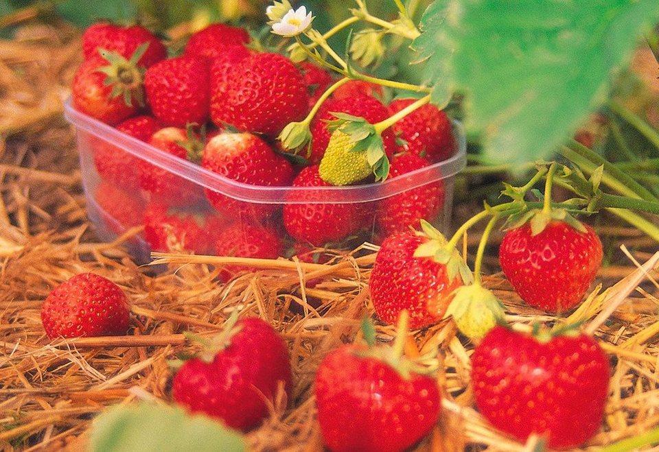 Erdbeere »Senga Sengana« in rot
