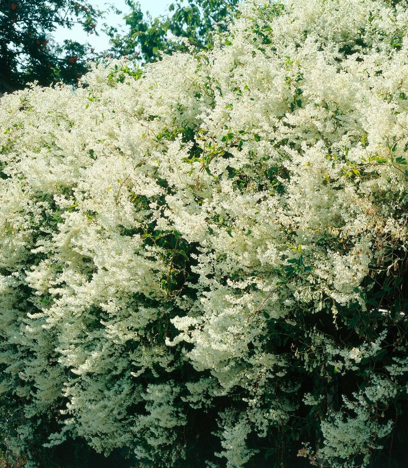 Schlingknöterich (2 Pfl.) in weiß