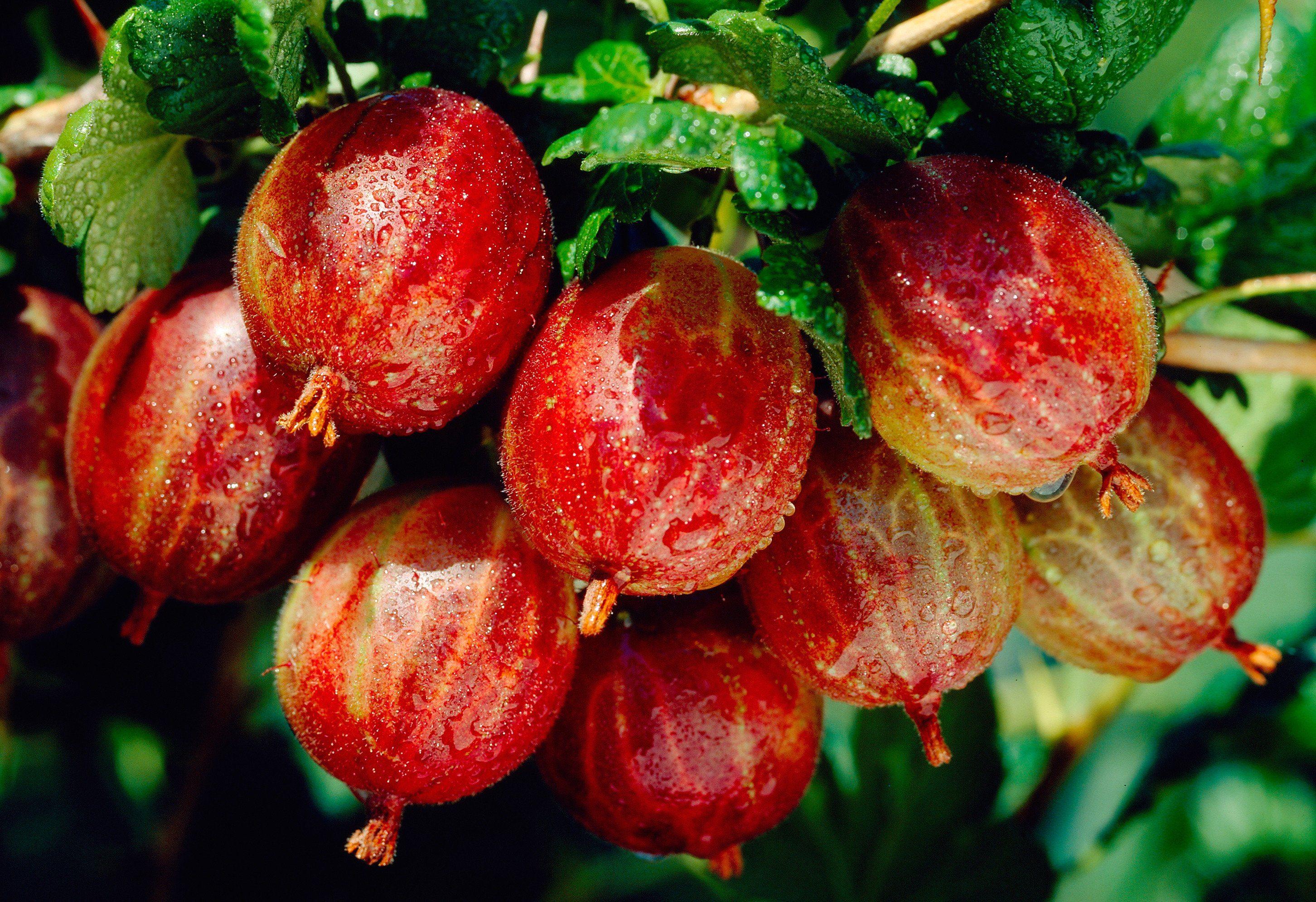 Stachelbeere, rot