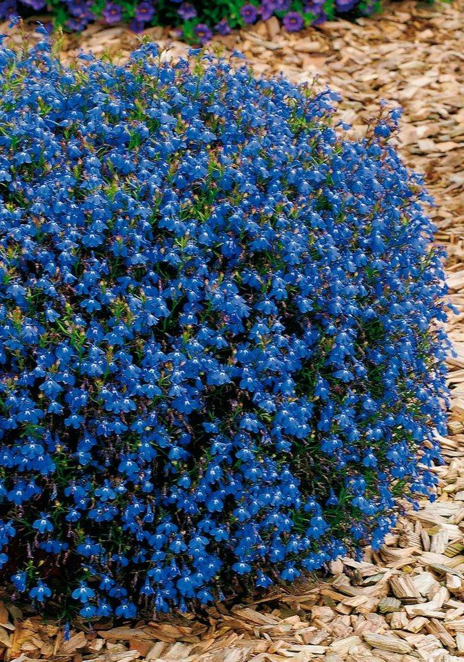 Beet & Balkonpflanze »Lobelia«, blau (4 Pfl.) in blau