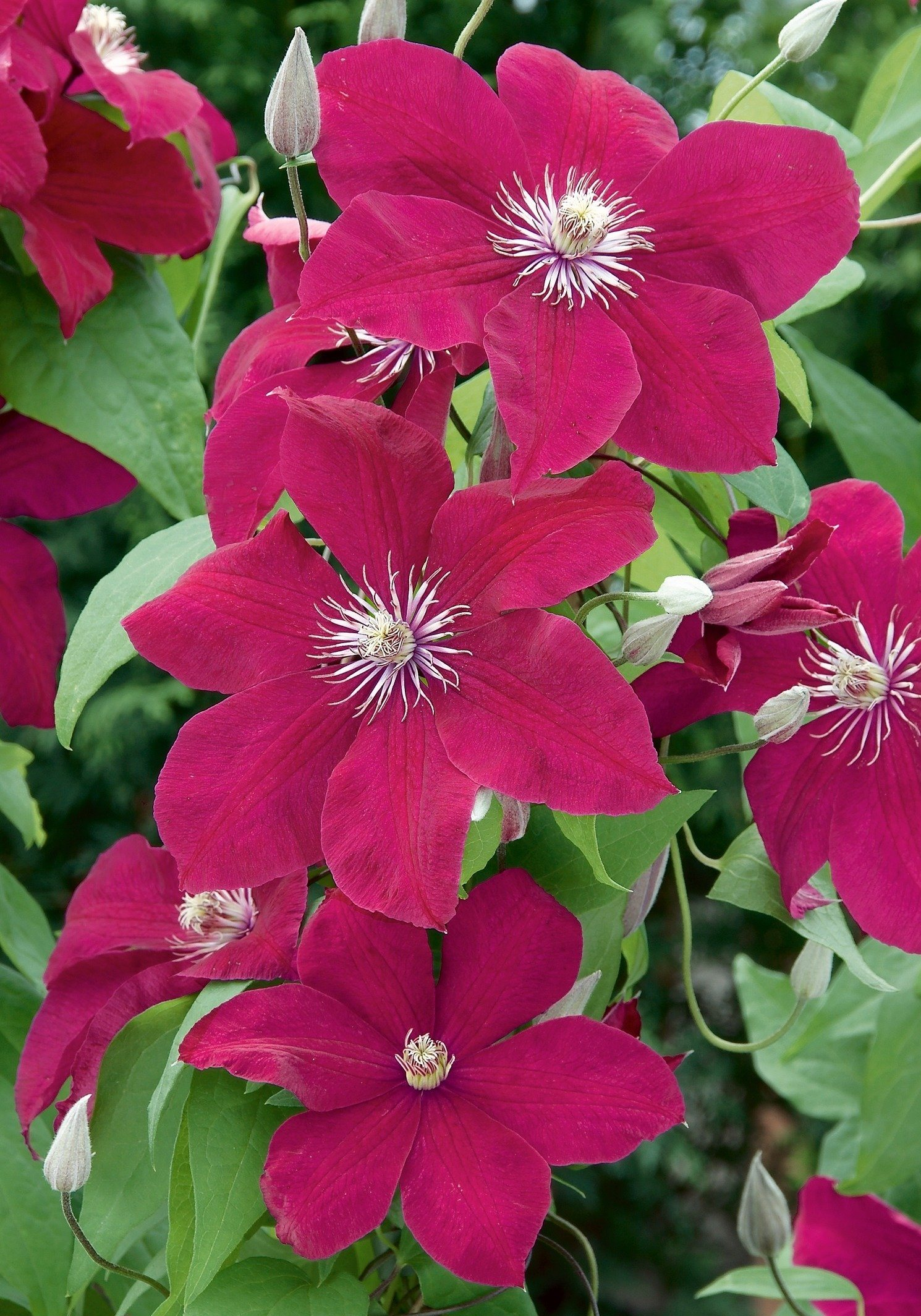 Clematis Rouge Cardinal (2 Pfl.)