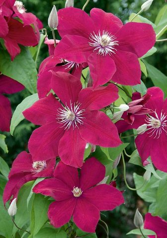 BCM Clematis Rouge Cardinal (2 Pfl.)