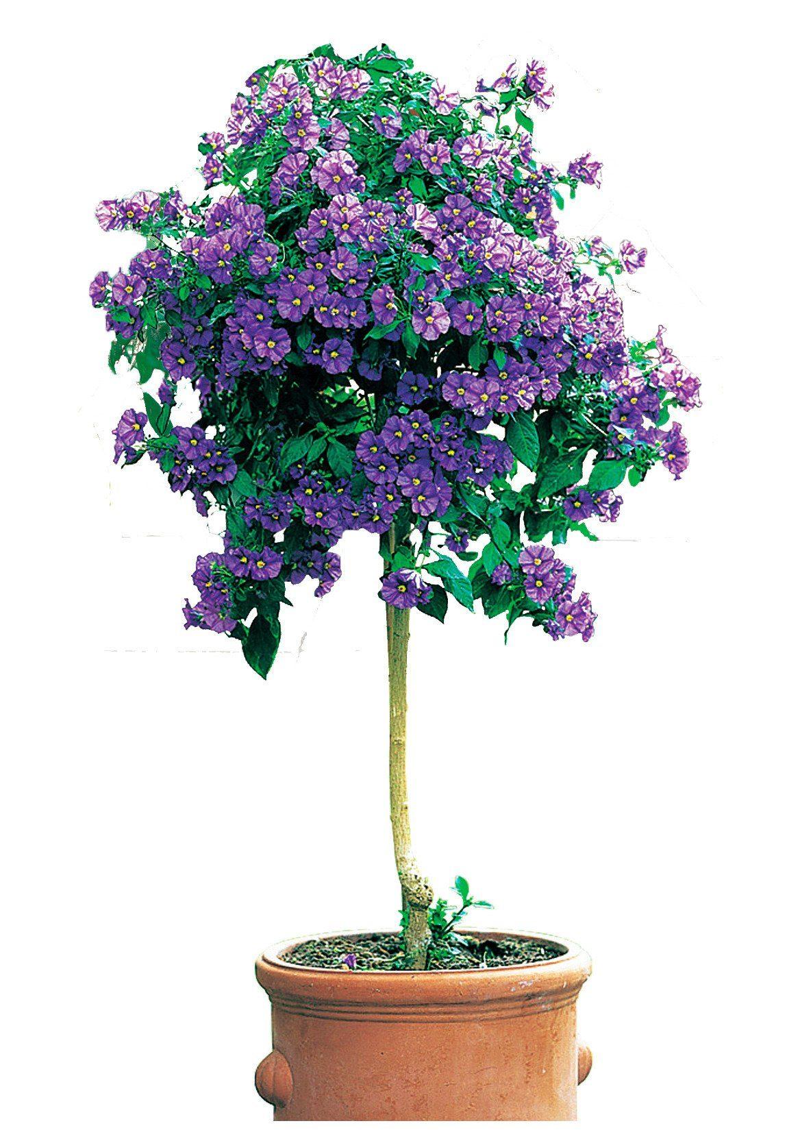 Beet- & Balkonpflanze »Enzian«