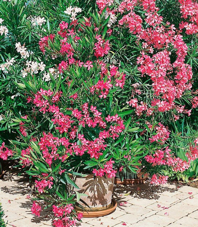 Beet & Balkonpflanze »Oleander« online kaufen | OTTO