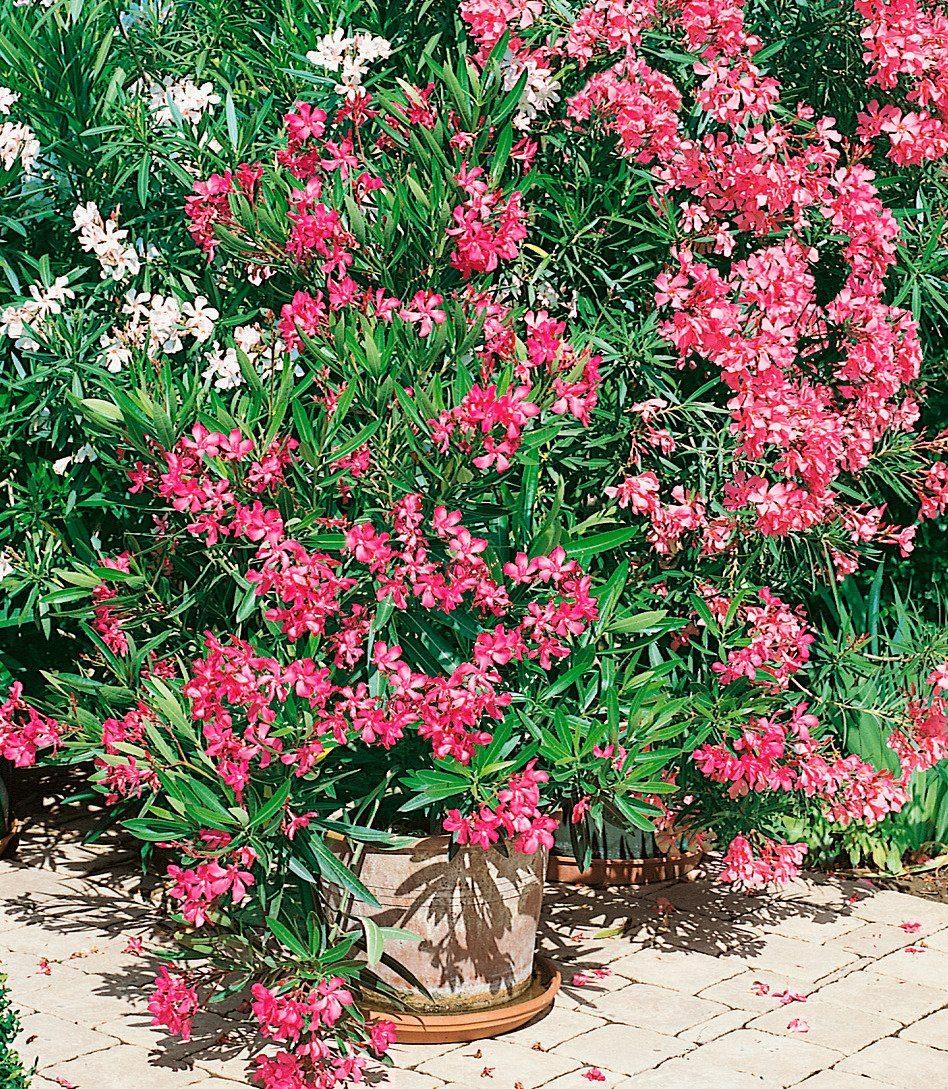 Beet & Balkonpflanze »Oleander«