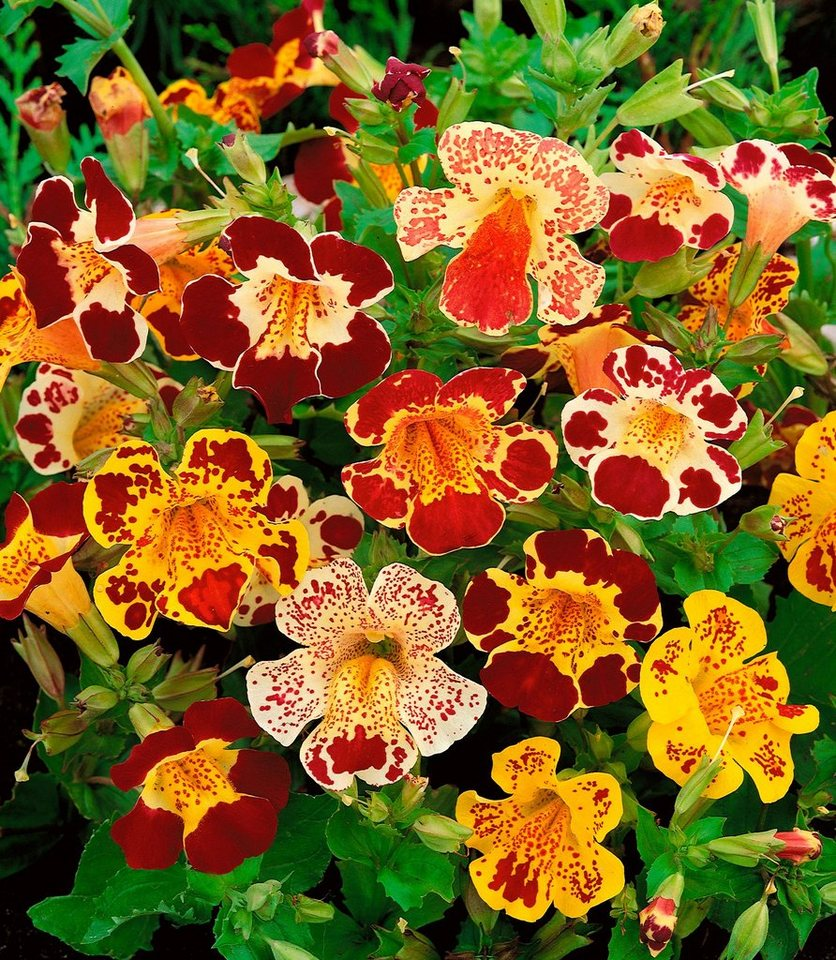 Beet & Balkonpflanze »Gefleckte Gauklerblume« in grün