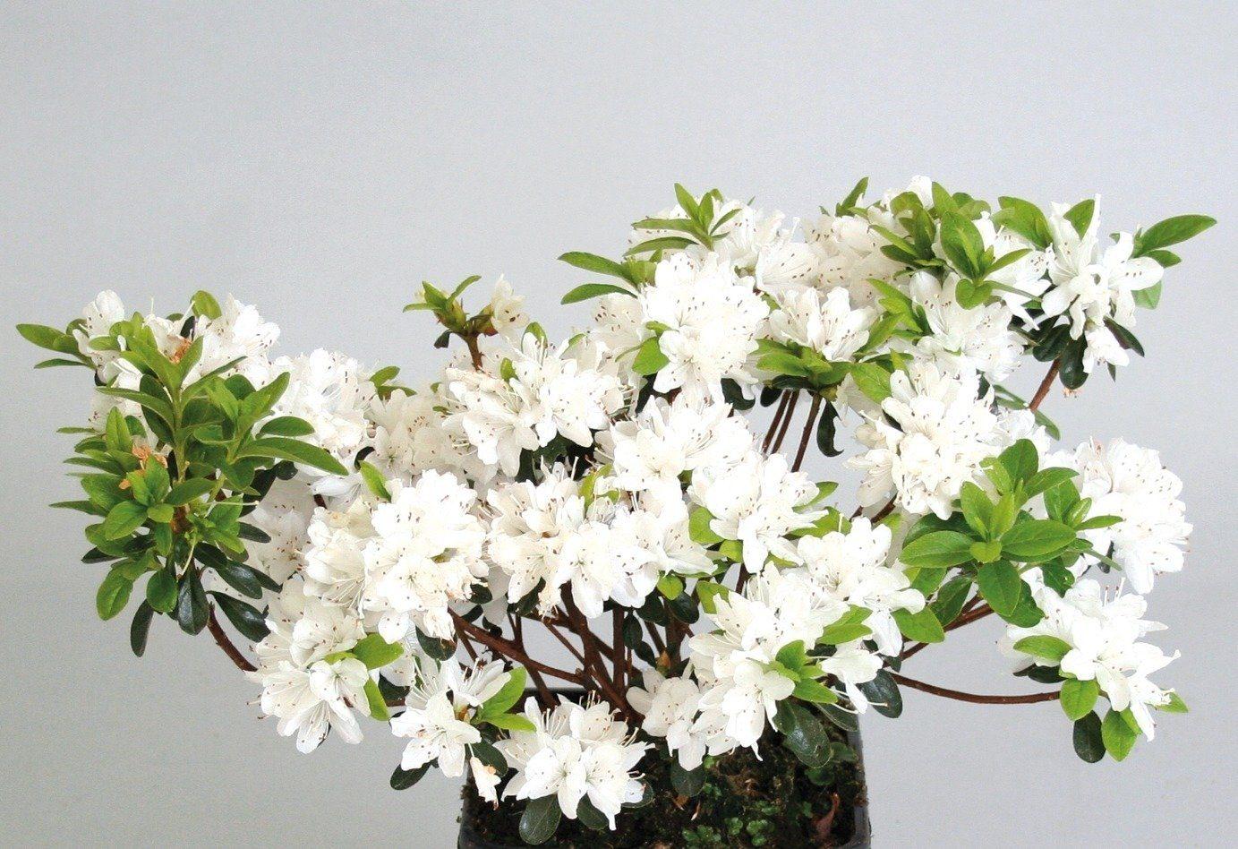 Rhododendron »Maischnee«