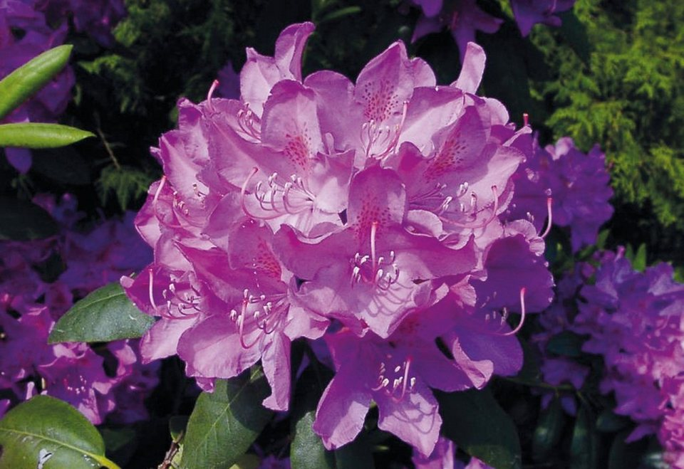 BCM Rhododendron »Roseum Elegans« in rosa