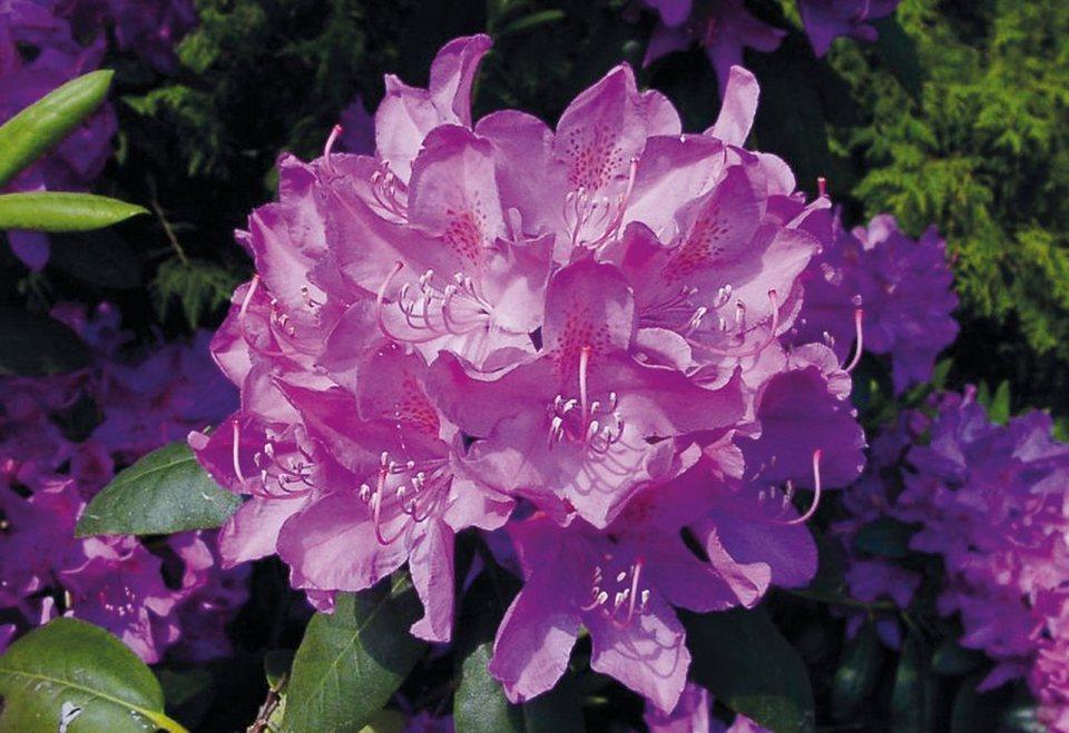 Rhododendron »Roseum Elegans« in rosa