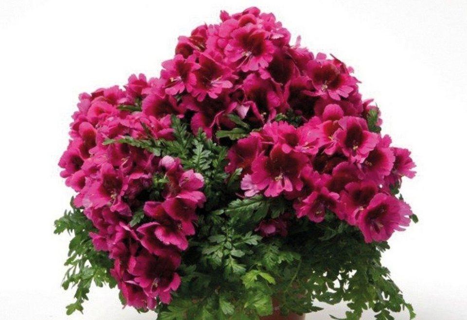 beet balkonpflanze bauernorchidee rot kaufen otto. Black Bedroom Furniture Sets. Home Design Ideas