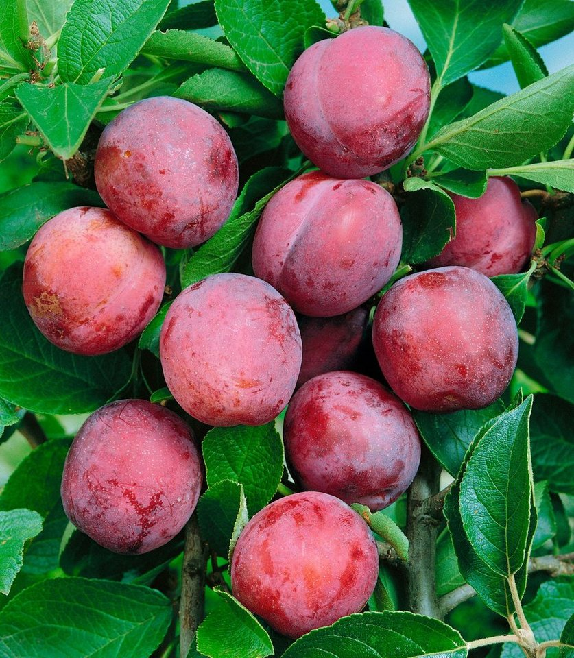 Obstbaum »Pflaume Viktoria«, 150 cm in rosa