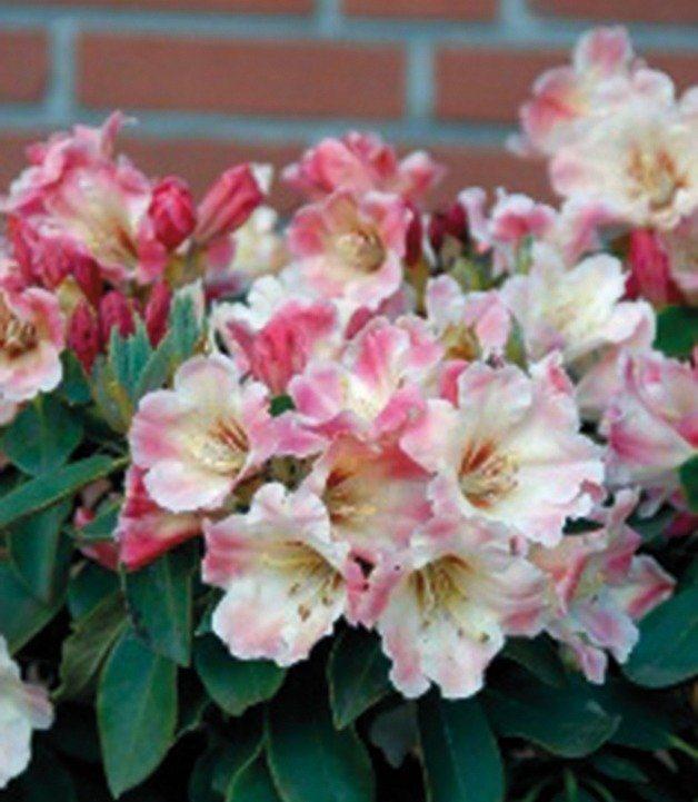 Rhododendron »Gerstenkorn« in rosa