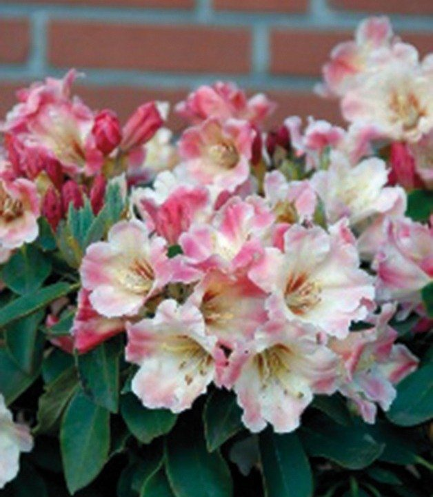 Rhododendron »Gerstenkorn«