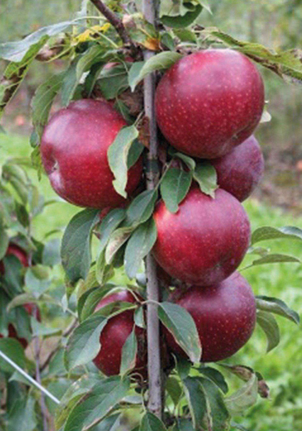 Säulenobst »Apfel Malini®Fresco«