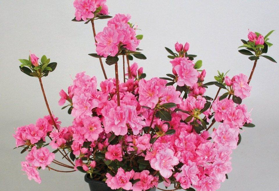 Rhododendron »Drapa« in rosa