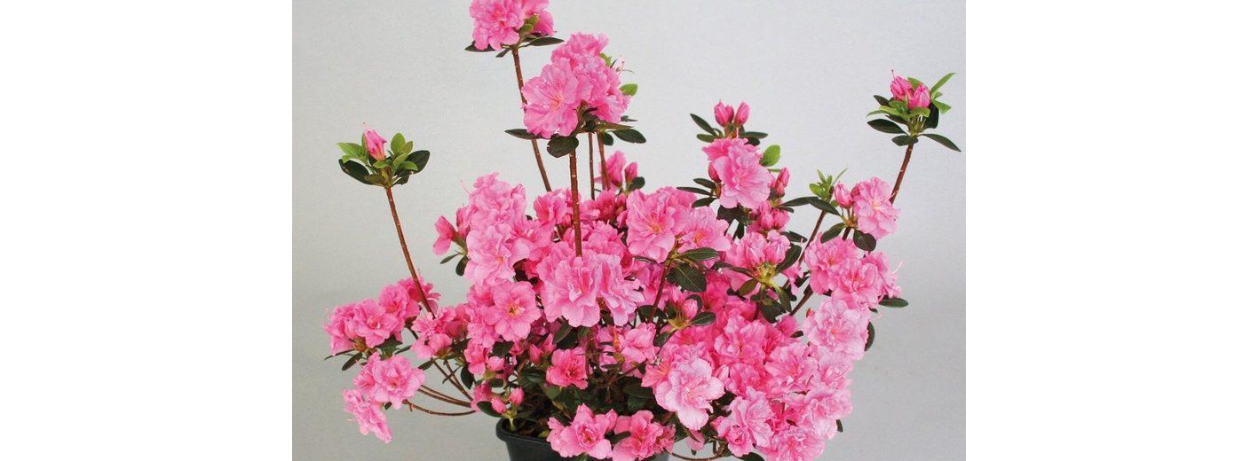 Rhododendron »Drapa«