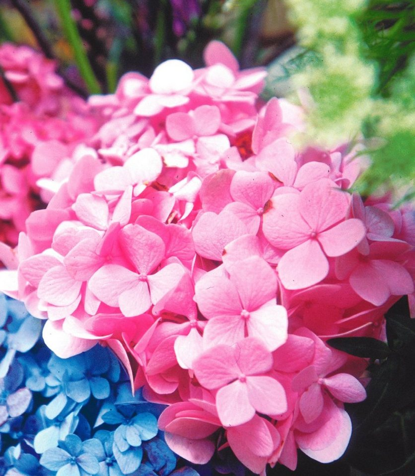 Hortensie Endless Summer® rosa in rosa