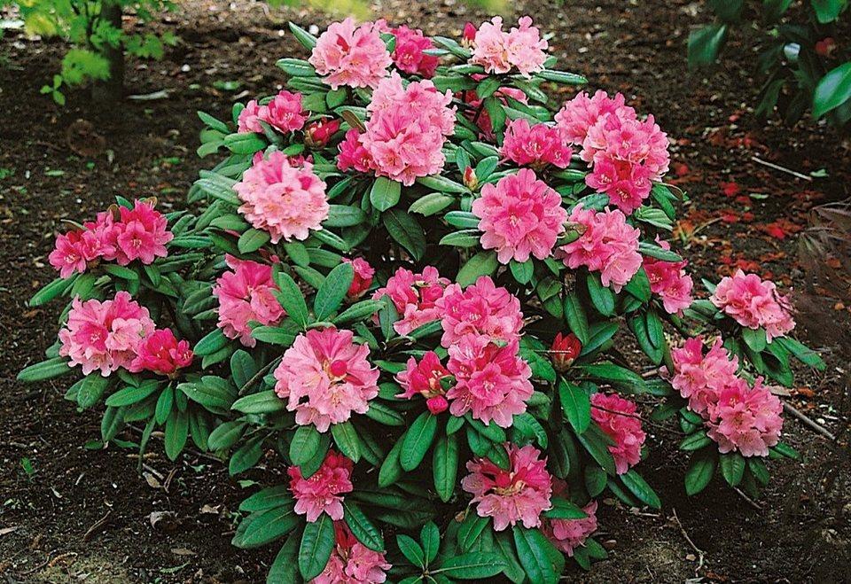Rhododendron »Herbstzauber« in rosa