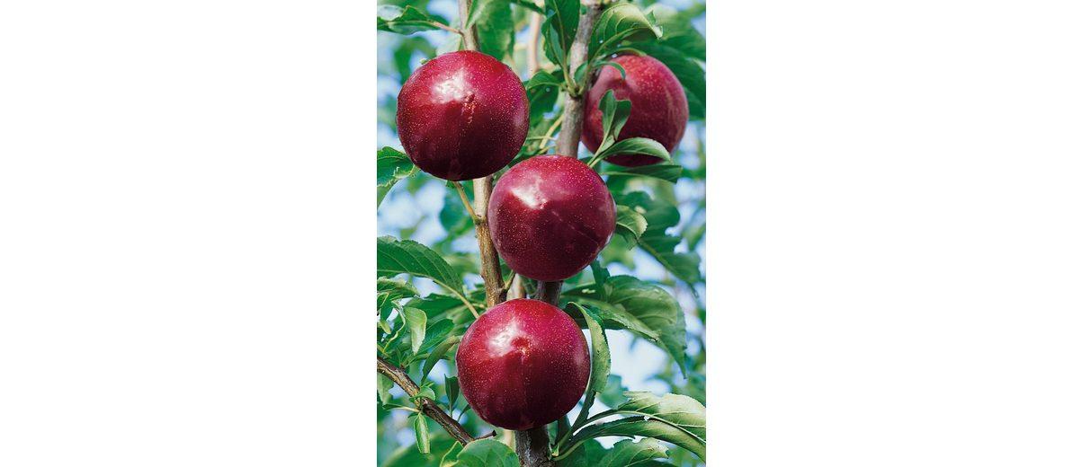 Obstbaum »Japan-Pflaume Santa Rosa«