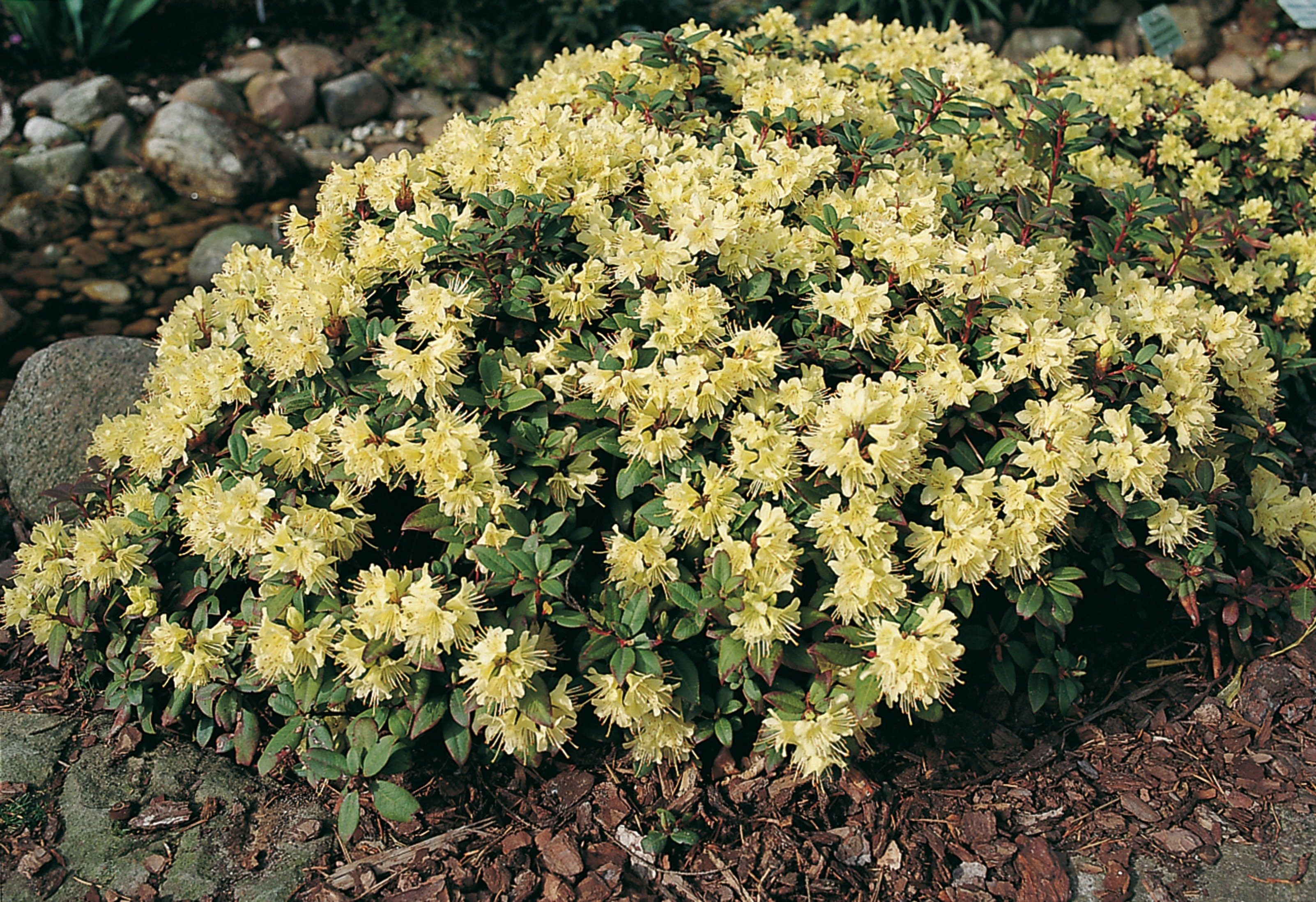 Rhododendron »Princesse Anne«