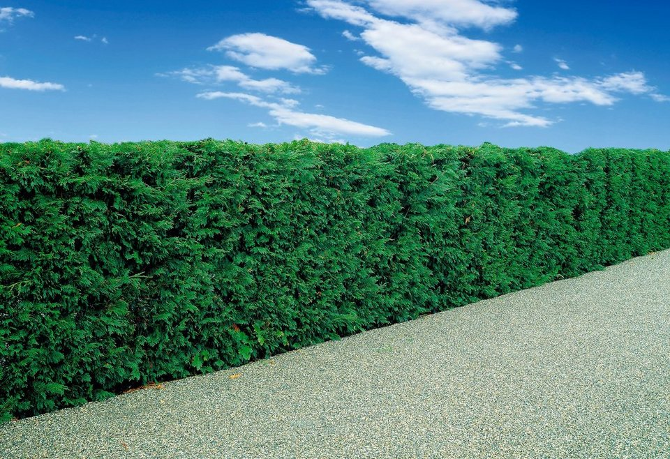 Zypresse »Riesen-Zypresse« in grün