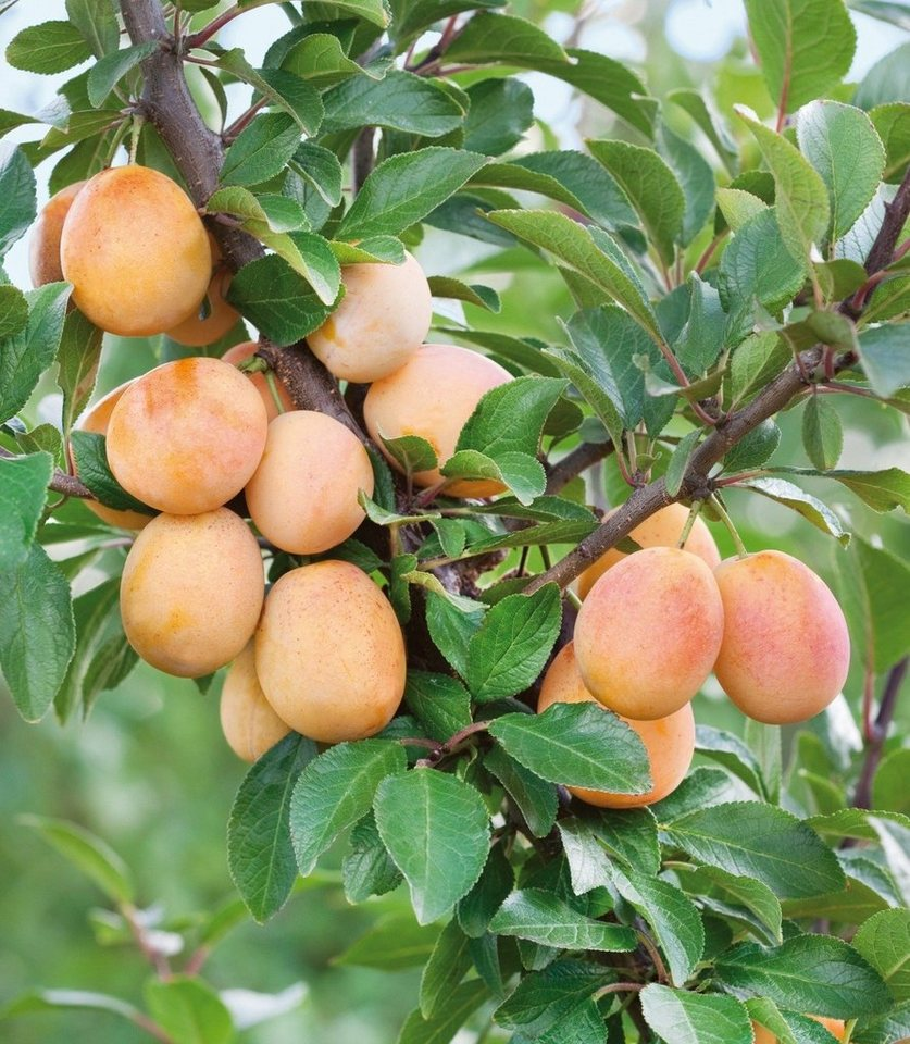 Obstbaum »Mirabellen-Aprikose Miracose®« in weiß