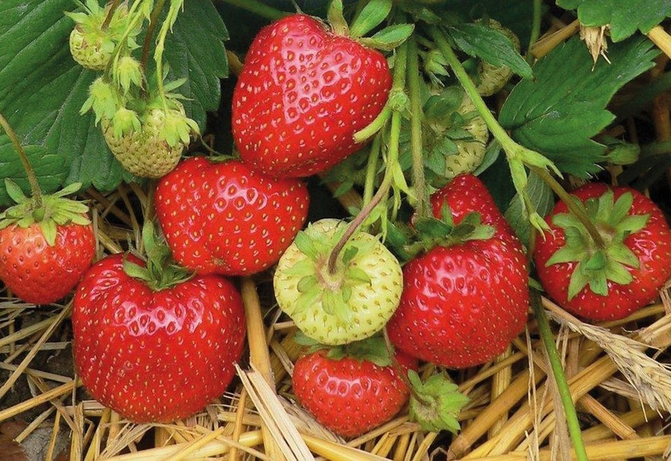 Erdbeere »Daroyal« in rot