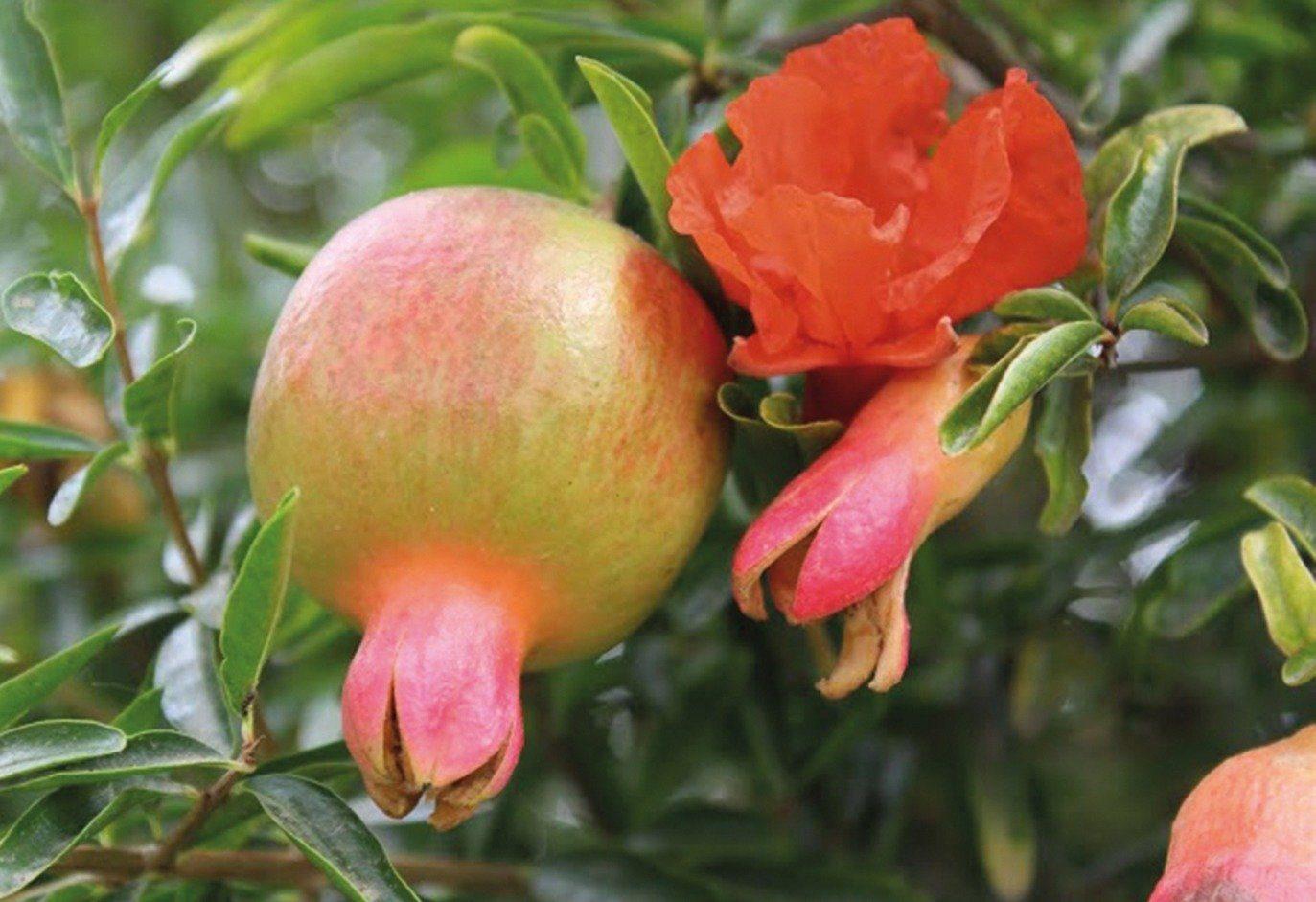 Obst »Granatapfel Favorite«
